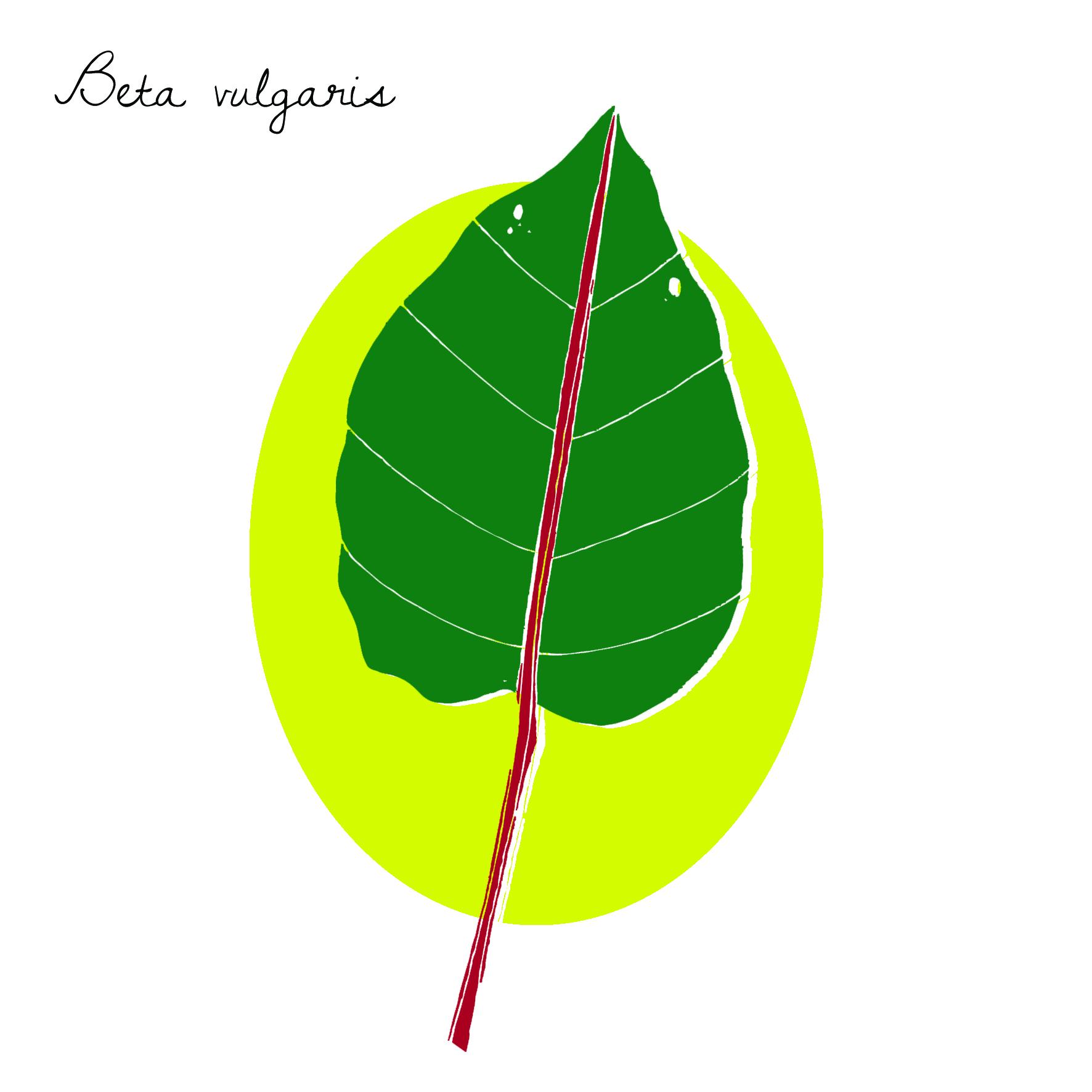 Beta vulgaris by Virginia Elena Patrone