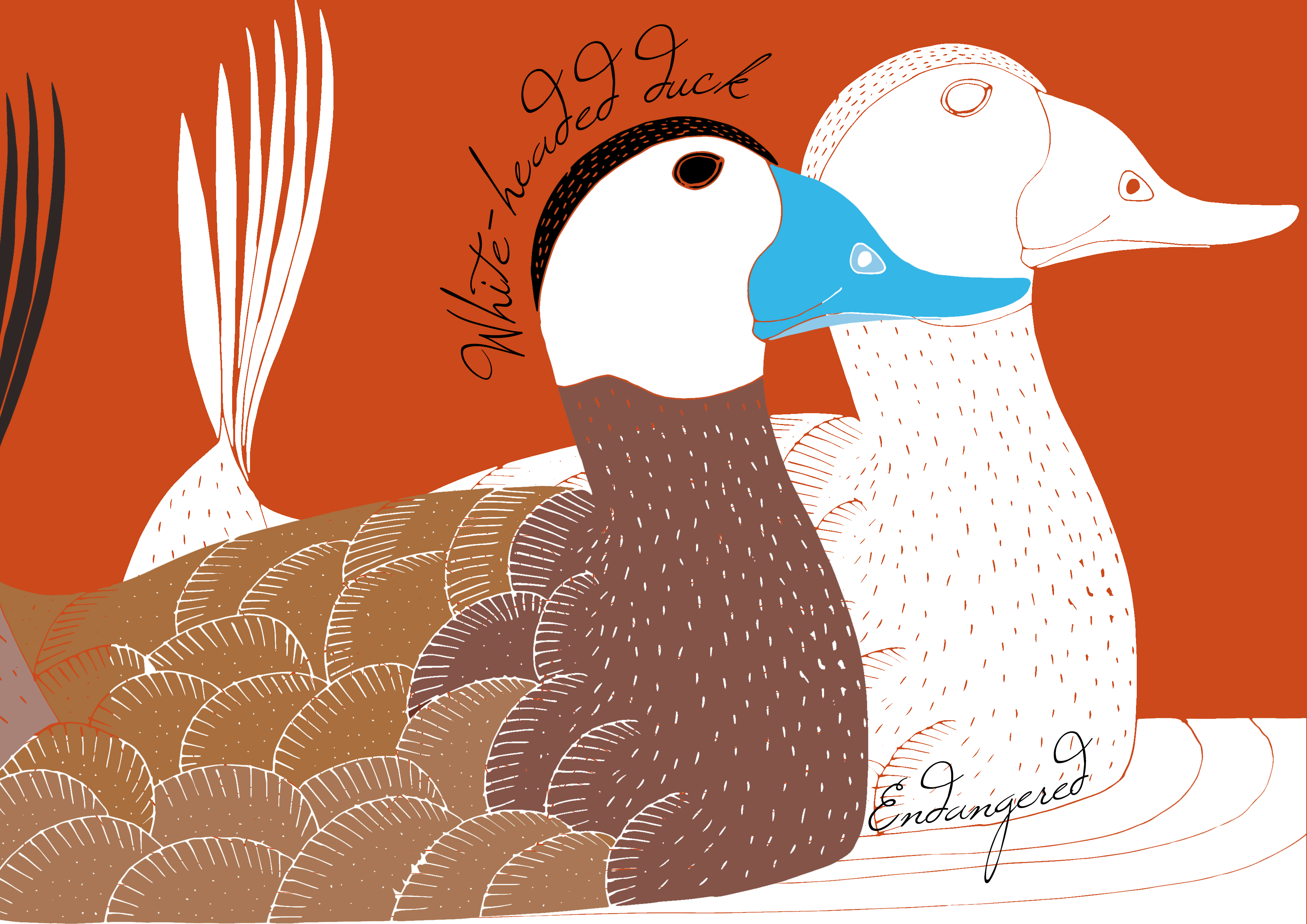 White_Headed_Duck_Forever Extinct_by Virginia Elena Patrone